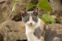 White and beige gray cat looking intently to the right. White and beige gray cat looking carefully to the right, with a background of plants and stones Royalty Free Stock Photo