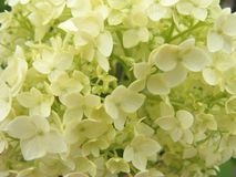 White and beige hydrangea macro, close up structure of flowers for background or wedding decoration. White hydrangea macro, close up structure of flowers for royalty free stock image