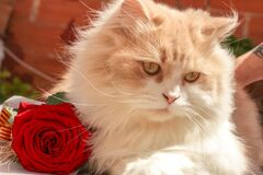 White and Beige Persian Cat Beside Red Rose Royalty Free Stock Images