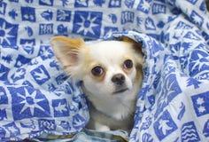 White and Beige Short Coat Dog Stock Image