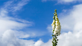 White bell flower foxglove with blue sky Royalty Free Stock Photo
