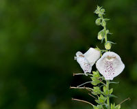 White Bell Flowers Foxglove Royalty Free Stock Image