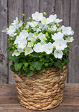 White Bellflowers in a Basket. White Campanula or also known as Bellflowers in a Basket in front on a wooden Background Royalty Free Stock Images