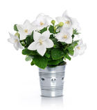 White bellflowers Stock Image