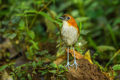 White Bellied Antpitta Stock Photography