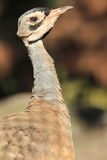 White-bellied bustard Stock Photography