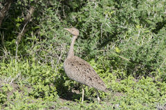 White-bellied Bustard Eupodotis senegalensis Hunting for Insects Royalty Free Stock Photo