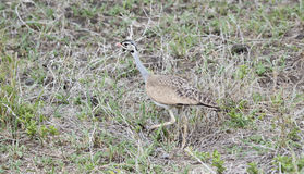 White-bellied Bustard Eupodotis senegalensis Hunting for Insects Stock Images