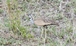 White-bellied Bustard Eupodotis senegalensis Hunting for Insects Royalty Free Stock Images