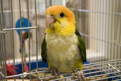 White Bellied Caique. Sitting on His Cage Door Stock Images