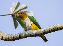 White Bellied Caique Royalty Free Stock Photo