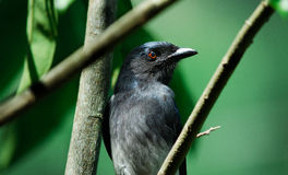 White bellied Drongo bird Stock Images