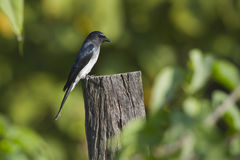 White-bellied drongo bird in Nepal Royalty Free Stock Photography