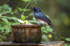 White-bellied drongo in Minneriya national park, Sri Lanka Royalty Free Stock Images