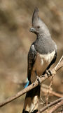 White-bellied go-away-bird Stock Images