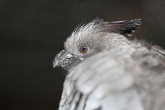 White-bellied go-away bird Stock Image