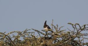 White-bellied Go-away Birds on Shrubbery. White-bellied go-away birds, Corythaixoides leucogaster, are feeding on shrubs at Abijatta-Shalla, Ethiopia, Africa stock footage