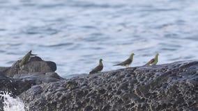 White-bellied green-pigeon flocks stock video footage