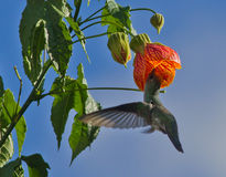 White-bellied Hummingbird, Amazilia chionogaster stock images