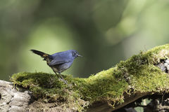 White-bellied Redstart stand on stump in nature Stock Photography