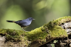 White-bellied Redstart stand on stump in nature Royalty Free Stock Photo