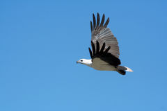 White Bellied Sea Eagle Stock Photos