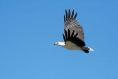 Free White Bellied Sea Eagle Stock Photos - 15772393