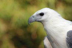 White bellied sea eagle Royalty Free Stock Image