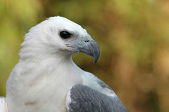 White bellied sea eagle. Portrait Royalty Free Stock Photography