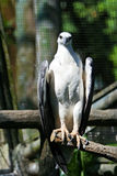 White-bellied Sea Eagle Stock Photos