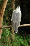 White-bellied Sea Eagle Royalty Free Stock Images