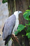 White-bellied sea eagle Royalty Free Stock Image