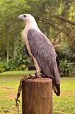 White-bellied Sea-eagle. At the Philippine Eagle Center in Davao City stock image