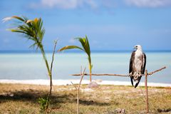 White bellied sea eagle Royalty Free Stock Photo