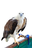 White bellied sea eagle Royalty Free Stock Photos