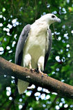 White bellied sea eagle Stock Image