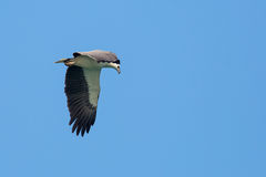White-bellied Sea Eagle flying. On blue sky Royalty Free Stock Images