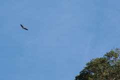 White-bellied Sea-Eagle flying above with wings fully spread blu. White-bellied Sea-Eagle soaring flying high above with wings fully spread with a light blue sky Stock Photo