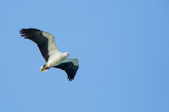 White-bellied Sea Eagle flying. On blue sky stock photo