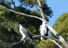 Sea Eagles. The white-bellied sea eagle has a white head, rump and underparts, and dark or slate-grey back and wings. In flight, the black flight feathers on the Stock Image