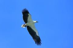 Free White-bellied Sea Eagle Hunting, Langkawi Island Stock Image - 39253461