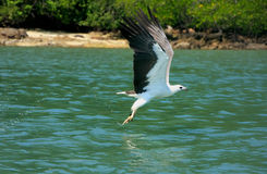 White-bellied Sea Eagle hunting, Langkawi island Royalty Free Stock Image