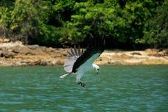 White-bellied Sea Eagle hunting, Langkawi island Royalty Free Stock Image
