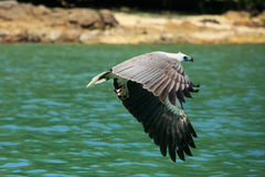 White-bellied Sea Eagle hunting, Langkawi island Royalty Free Stock Photography