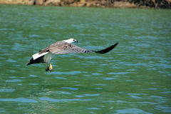 White-bellied Sea Eagle hunting, Langkawi island Stock Images