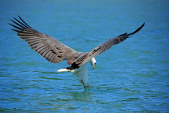White-bellied Sea Eagle hunting, Langkawi island Stock Image