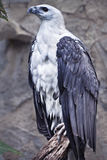 White bellied Sea Eagle Perching on Tree Trunk Stock Photos