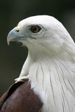 White Bellied Sea Eagle Profile Portrait Royalty Free Stock Images