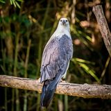 White-bellied Sea Eagle Stock Images
