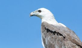 White bellied sea royalty free stock images